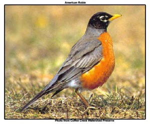 namerican-robin