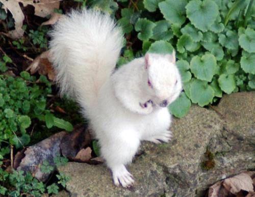 Albinosqu